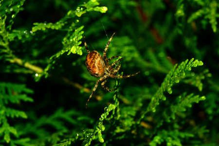 hedge: Spider in the hedge