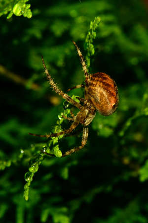 gro: fat spider in the Thuja hedge