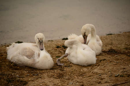 biotope: Young swans on the shore Stock Photo