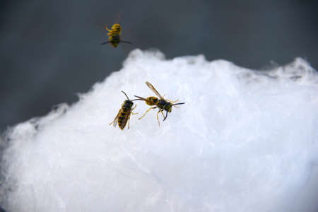 nibble: Wasps on candyfloss