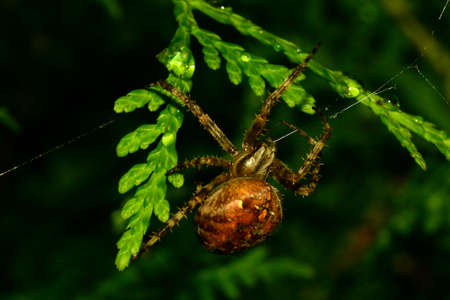 gro: Spider in the Thuja hedge Stock Photo