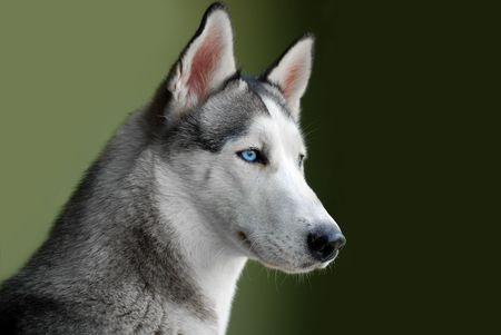 A portrait of blue eyed siberian husky