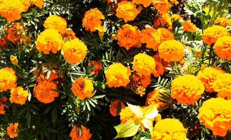 Orange flowers in the meadow in the sunlight. Nature. Standard-Bild