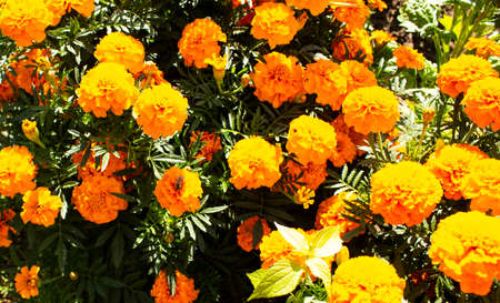 Orange flowers in the meadow in the sunlight. Nature. Stock Photo
