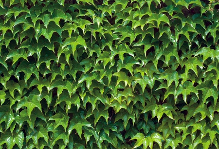 beautiful green background out of ivy photo