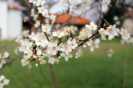 bloomy: blooming tree from bulgaria Stock Photo