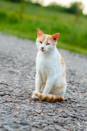 Homeless red cat sitting on the warm asphalt road. A stray cat looking at the camera and squinting Stock Photo