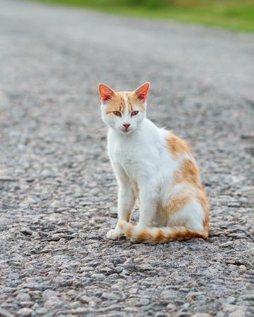 Homeless red cat sitting on the warm asphalt road. Stray cat attentively looks forward.