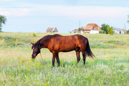 horse collar: Brown horse grazing on a leash, horse in the field at the evening