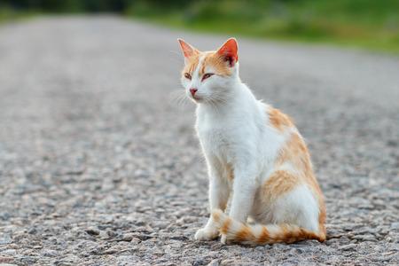 Homeless red cat resting on the warm asphalt road. Sunset