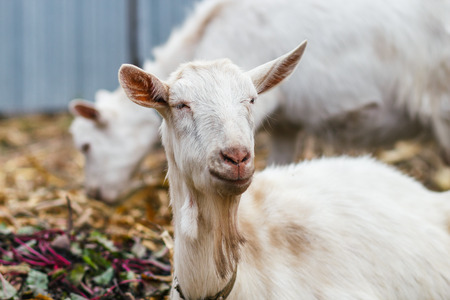 goat head: White goat at the village in a cornfield, goat on autumn grass, goat head looks at the camera Stock Photo