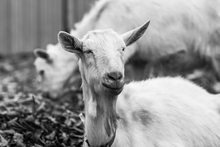 tethered: White goat at the village in a cornfield, goat on autumn grass, goat head looks at the camera Stock Photo