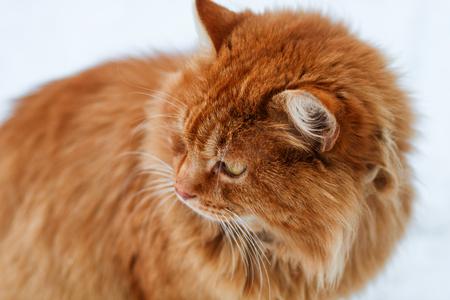 ginger cat: portrait of fluffy ginger cat in snow, cat looks away Stock Photo