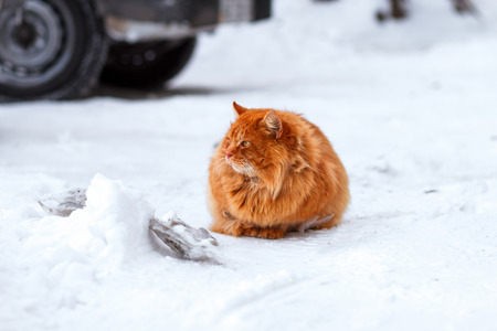 ginger cat: beautiful ginger cat sits on a snow-covered parking lot in the winter, the cat looks away