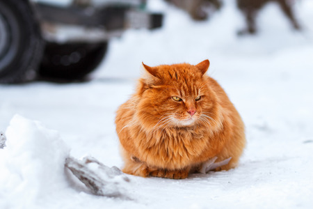 ginger cat: big fluffy ginger cat sitting in the snow