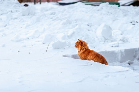 ginger cat: fluffy ginger cat sitting in the deep snow, cat closely watching the road out of a snowdrift Stock Photo