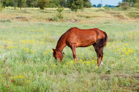 gefesselt: Brown horse eating grass on the field