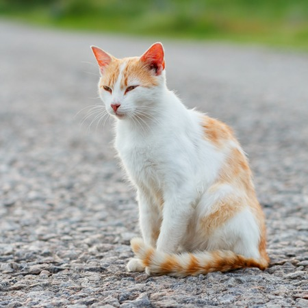 Homeless red cat sitting on the warm asphalt road. Stray cat screwed up his eyes. Sunset