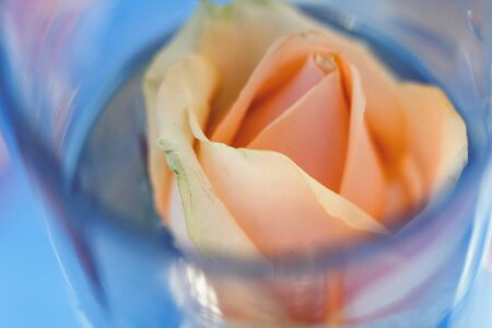 peach-colored rose in a vase with water, close-up