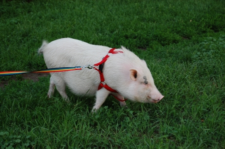 White piggy on a rainbow leash