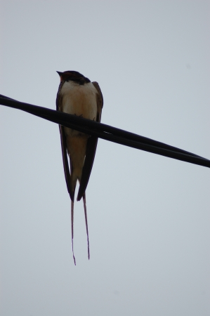 Swallow bird on electric line