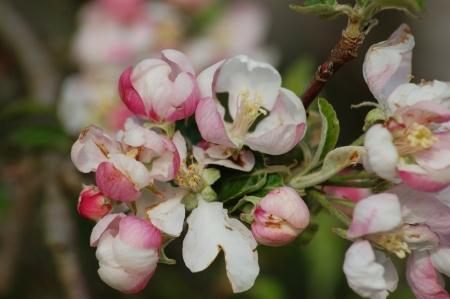 bloom of fruit tree