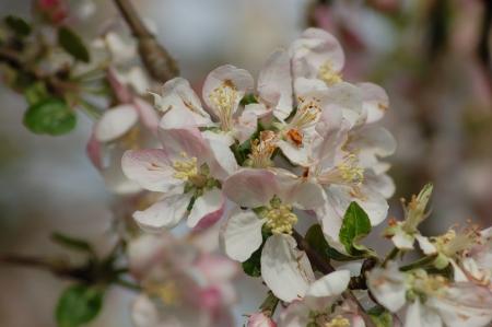flowering branche of fruit tree