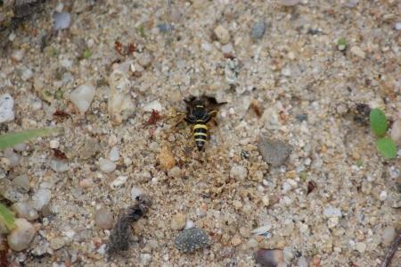 loner wasp at nest entrance