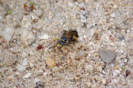 loner: loner wasp at nest entrance