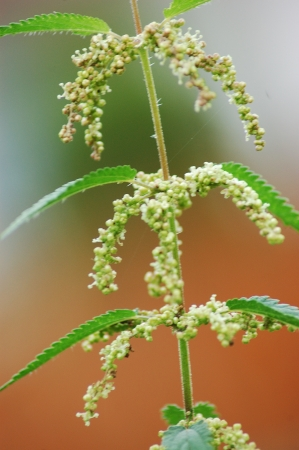 Nettle flowers and leaves photo