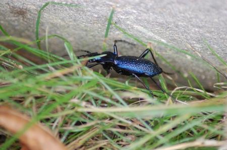 carabus: Carabus in grass
