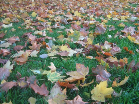 Falled yellow and ocher maple leaves on a green lawn photo