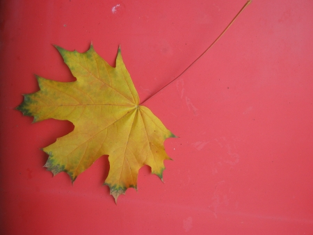 Yellow maple leaf on red background Stock Photo - 15994001