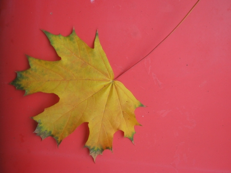tabernacles: Yellow maple leaf on red background
