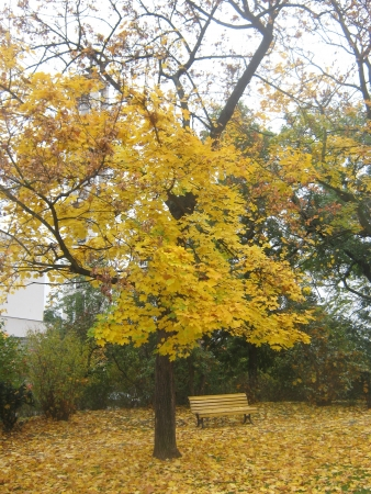 Autumn yellow maple in city park with bench Stock Photo - 15994002