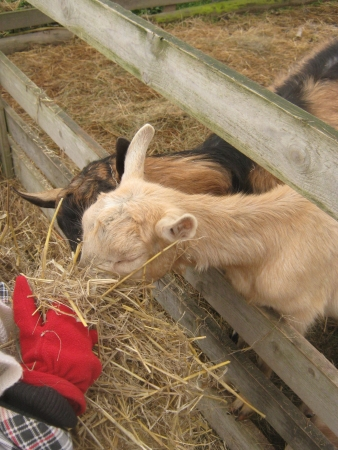 caprine: Hand in red glove goats fed hay