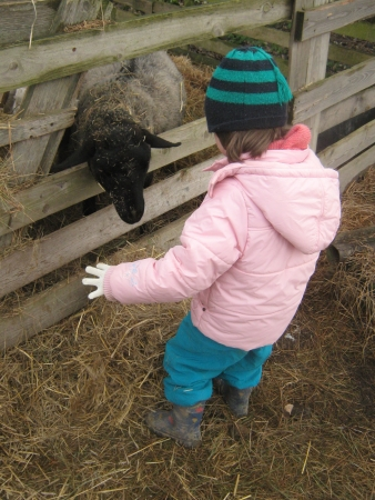 Little girl feeding sheep in a wooden fence  photo