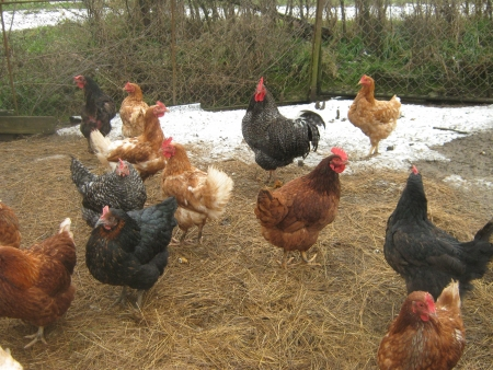 Colorful chickens in the snowy mesh enclosure