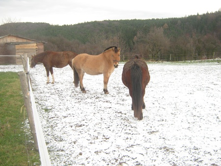 corral: Three horses in snowy corral