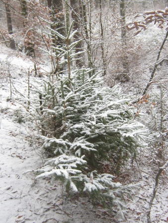 Spruce in a snowy forest photo