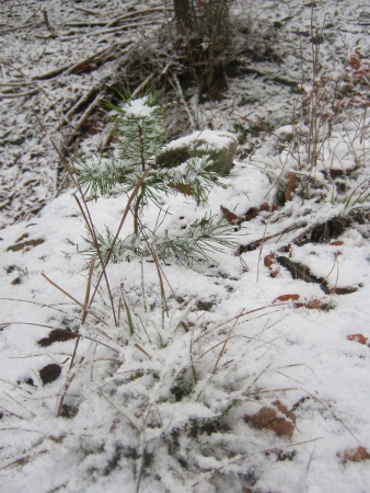 Little tree in a snowy forest photo