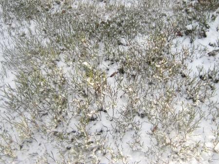 bilberry: Snowy bilberry