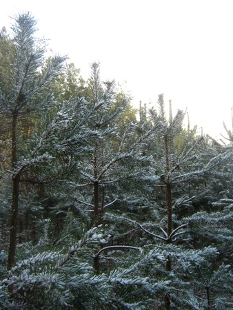 forest management: Snowy pines Stock Photo