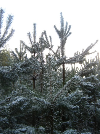 Snowy pines photo