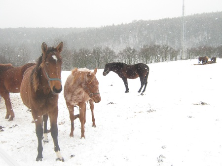 Horse group in snowing photo