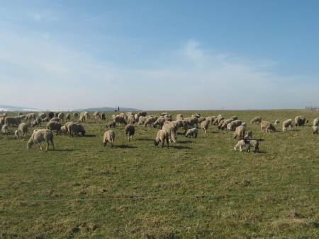 Pasture with flock of sheep photo