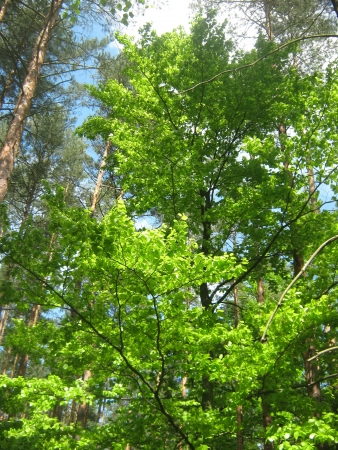 Green wood