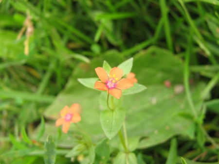 chickweed: Red chickweed
