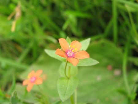 arvensis: Anagallis arvensis Stock Photo