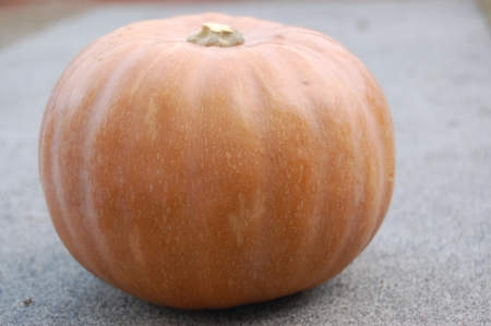 Yellow orange pumpkin Cucurbita moschata on gray underlay photo